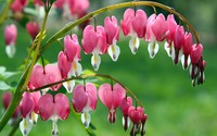 Dicentra wallpaper 2560x1600 jpg