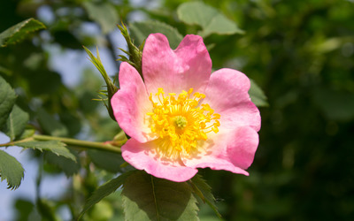 Dog rose wallpaper