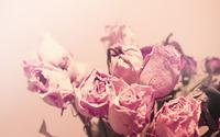 Dry roses wallpaper 2560x1600 jpg