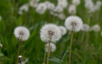 Field of blowballs on a cloudy day wallpaper 2880x1800 jpg