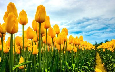 Field of yellow tulips wallpaper