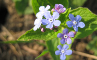 Forget-me-not [6] wallpaper 2560x1600 jpg