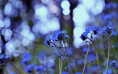 Forget-me-not [8] wallpaper