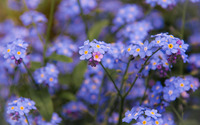 Forget-me-not [7] wallpaper 2560x1600 jpg