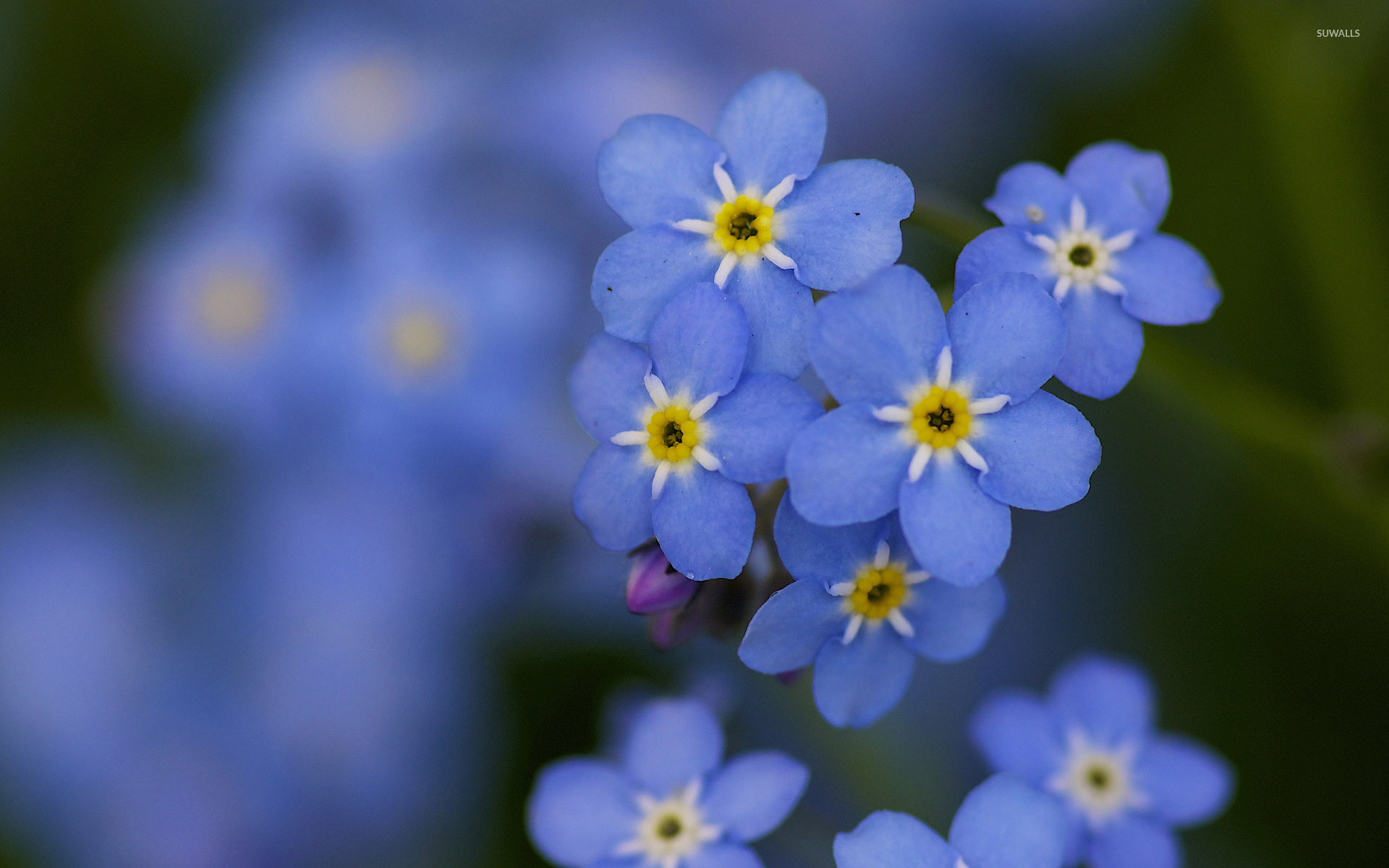 forget-me-not  10  wallpaper - flower wallpapers