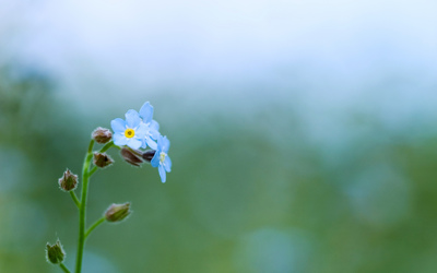Forget-me-not [11] wallpaper