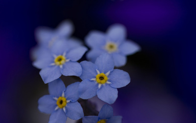Forget-me-not wallpaper