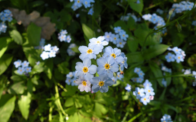 Forget-me-not [4] wallpaper