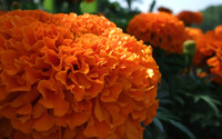 French marigold wallpaper 2880x1800 jpg
