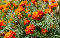 French marigold [2] wallpaper 2880x1800 jpg