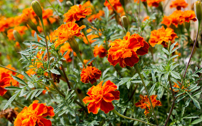French marigold [2] wallpaper