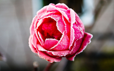 Frozen red rose wallpaper