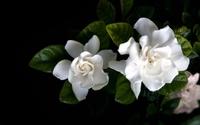 Gardenia wallpaper 2560x1600 jpg