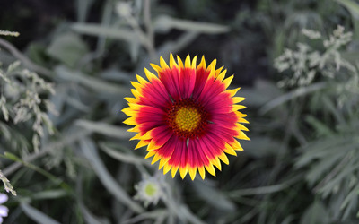 Gazania [3] wallpaper