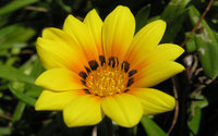 Gazania [2] wallpaper 1920x1200 jpg