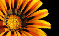 Gazania [4] wallpaper 1920x1200 jpg