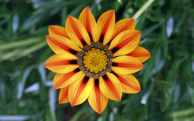 Gazania wallpaper