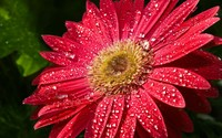 Gerbera wallpaper 1920x1200 jpg