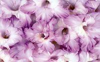 Gladiolus wallpaper 1920x1080 jpg