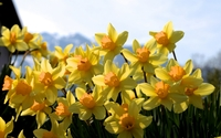 Golden daffodils in the garden wallpaper 1920x1200 jpg