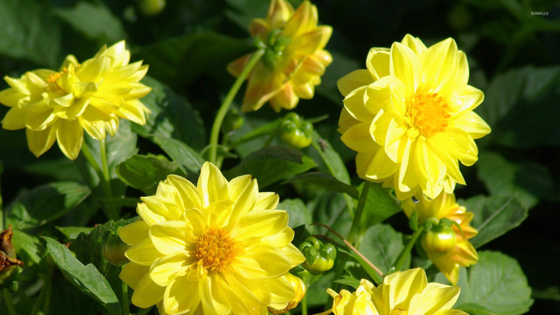Golden dahlias wallpaper - Flower wallpapers - #45002
