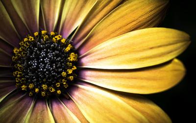 Golden daisy wallpaper