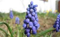 Grape Hyacinth [2] wallpaper 2560x1600 jpg