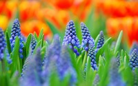 Grape Hyacinth wallpaper 1920x1200 jpg