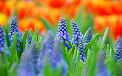 Grape Hyacinth wallpaper
