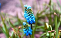 Grape Hyacinth [3] wallpaper 2560x1600 jpg
