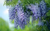 Hanging wisteria wallpaper 1920x1200 jpg