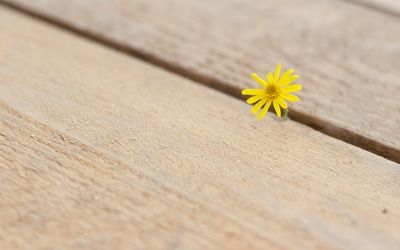 Hawksbeard peeking through the wooden pier wallpaper