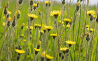 Hawkweed wallpaper 2880x1800 jpg