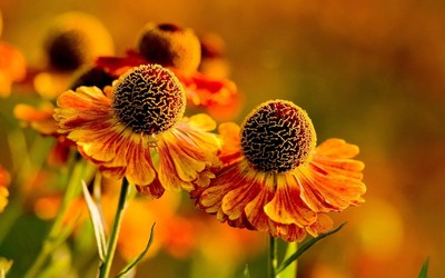 Helenium 'Moerheim Beauty' wallpaper