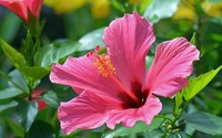 Hibiscus [7] wallpaper 2560x1600 jpg