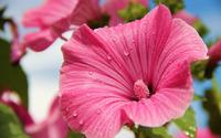 Hibiscus [6] wallpaper 2560x1600 jpg