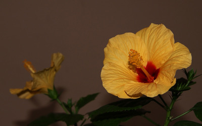 Hibiscus [13] wallpaper