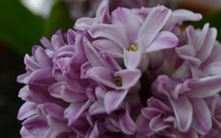 Hyacinth [3] wallpaper 2560x1600 jpg