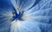 Hydrangea close-up wallpaper 2560x1600 jpg