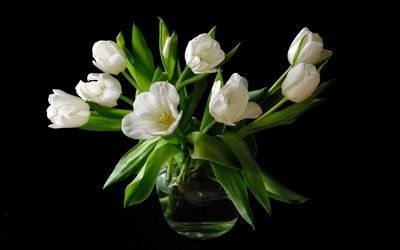 Immaculate white tulip bouquet wallpaper