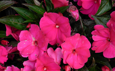 Impatiens wallpaper