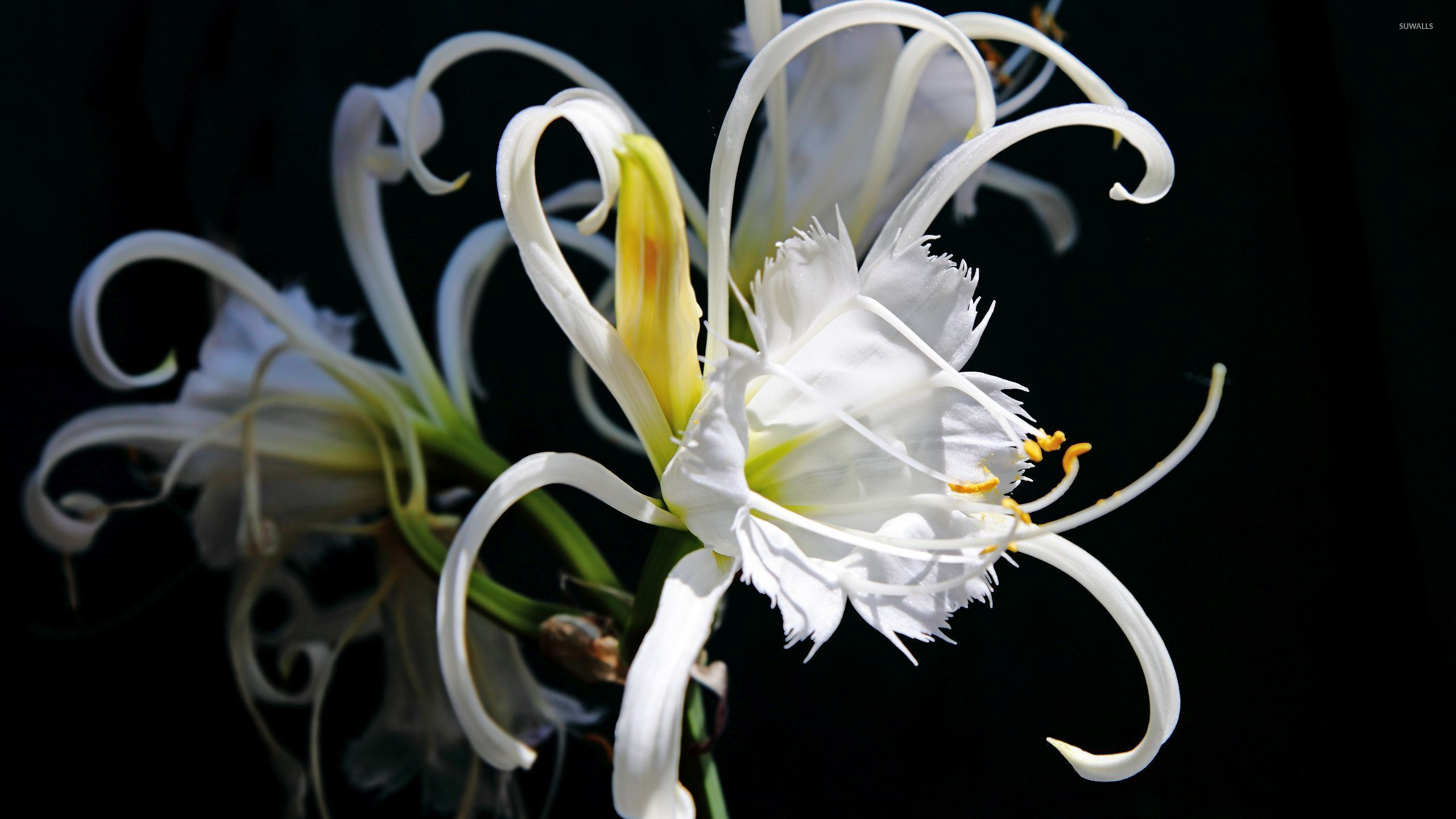 interesting white lily wallpaper flower wallpapers 52420