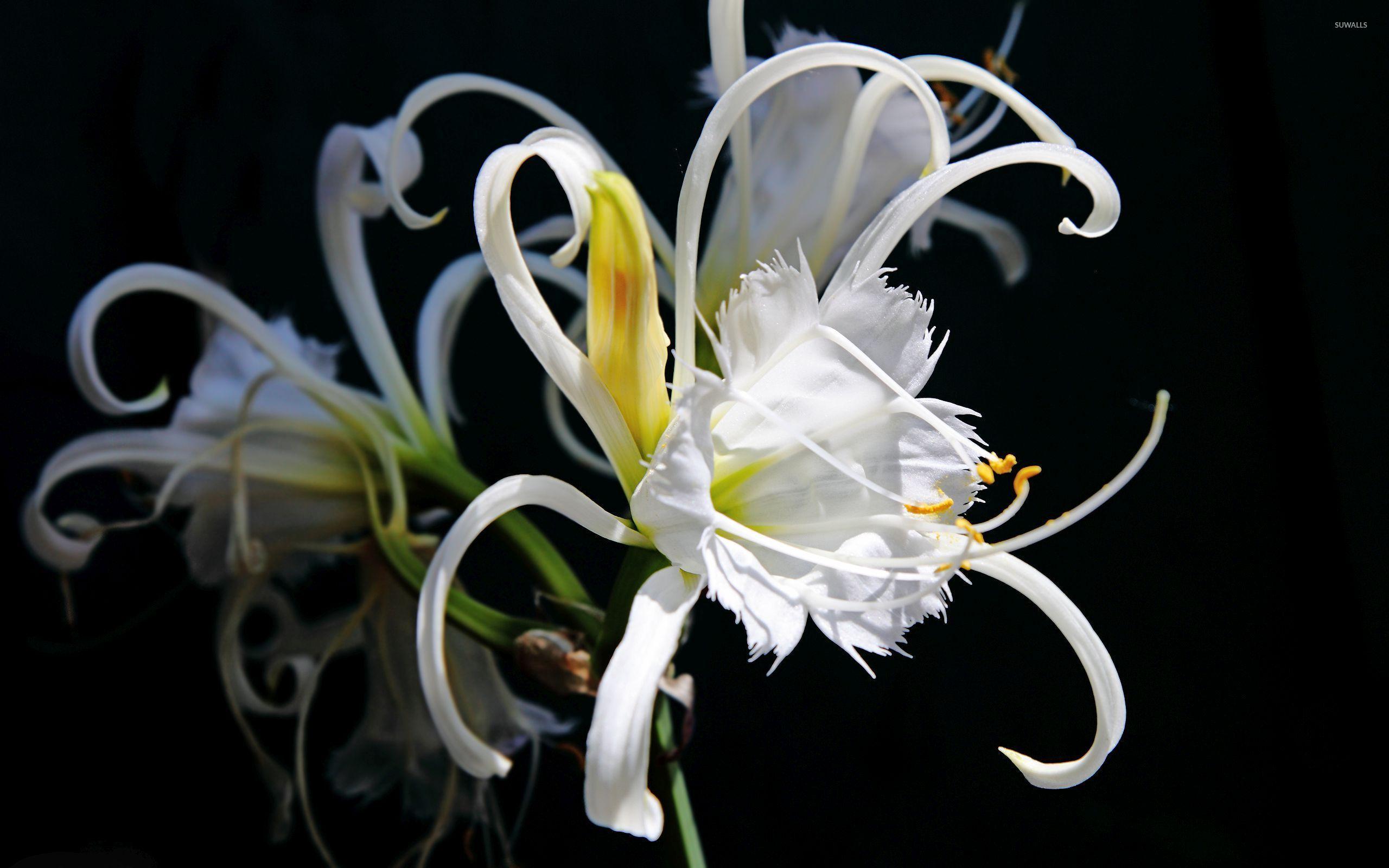 Interesting white lily wallpaper flower wallpapers 52420 for Interesting wallpaper for walls