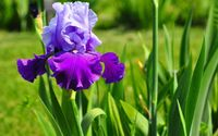 Iris [10] wallpaper 2560x1440 jpg
