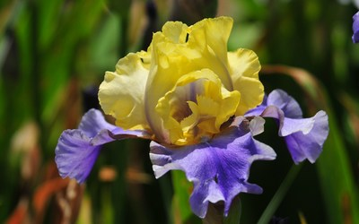 Iris [2] wallpaper