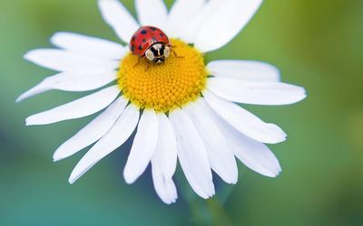 Ladybug on a daisy wallpaper