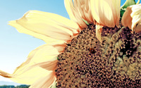Ladybug on a sunflower wallpaper 1920x1080 jpg