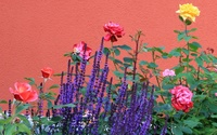 Lavender in a rose bush wallpaper 1920x1200 jpg