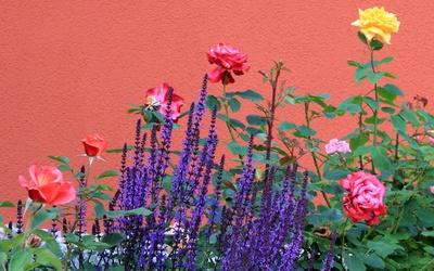 Lavender in a rose bush wallpaper
