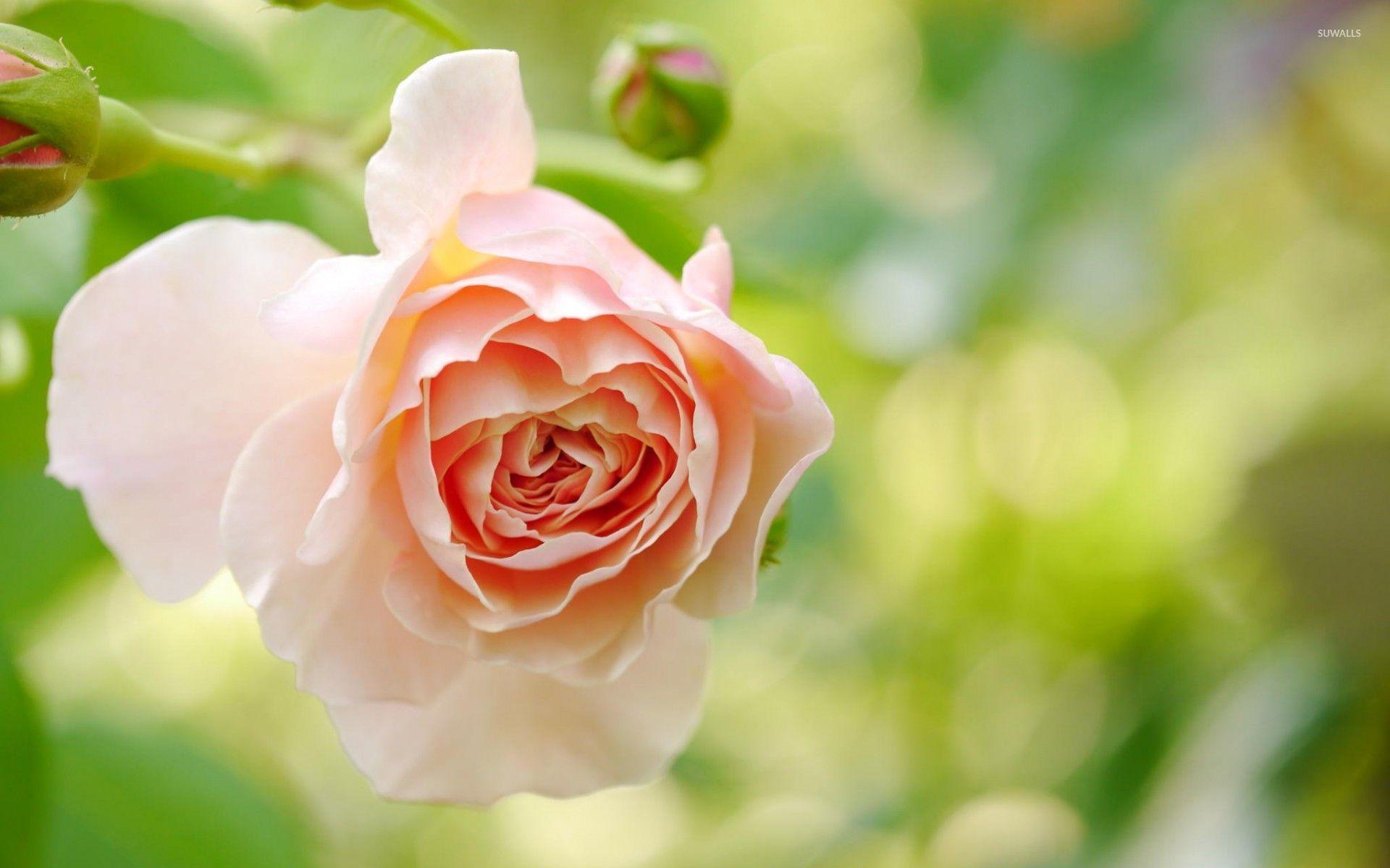 Light Orange Rose Wallpaper